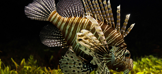 lion fish, aquarium